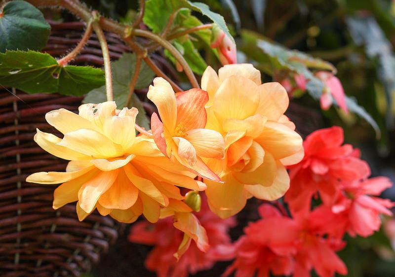 Orange and pink winter flowering shrubs.