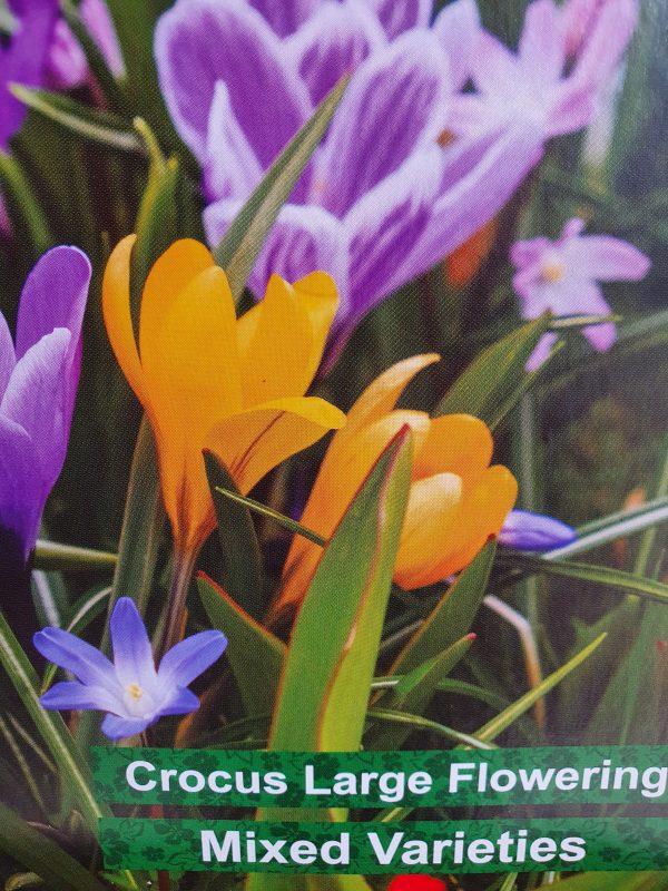Crocus Mixed Varieties Bulbs