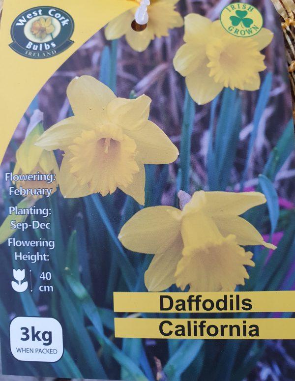 Daffodils California - Rockbarton