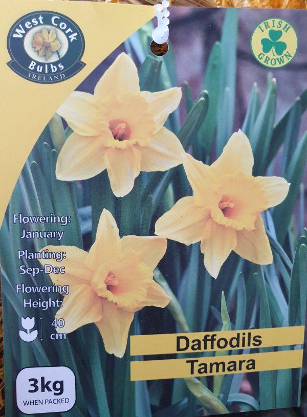 Daffodils Tamara - Rockbarton