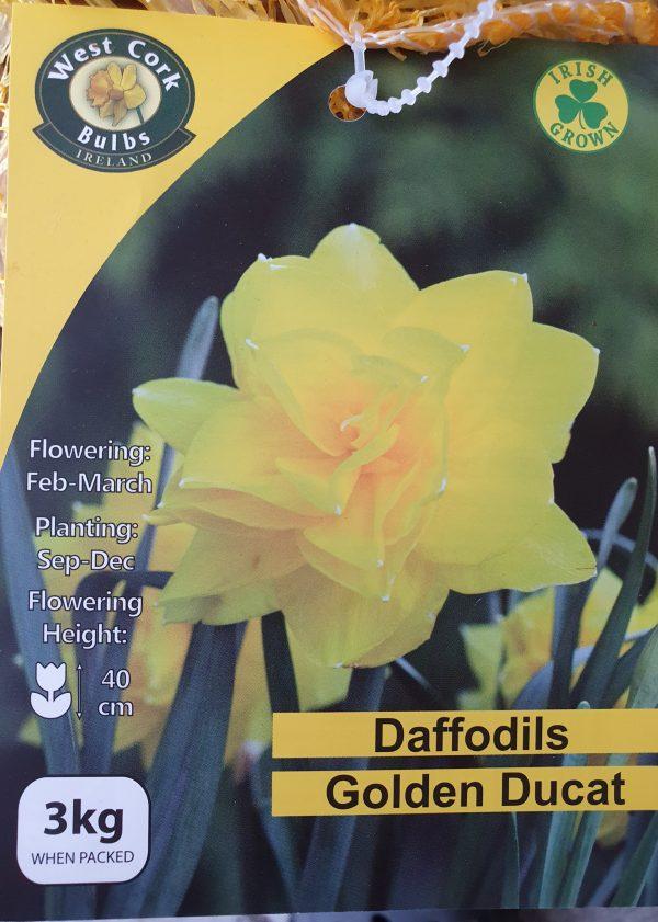 Daffodils golden ducat - Rockbarton