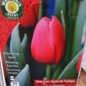 Darwin hybrid tulips apeldoorn - Rockbarton