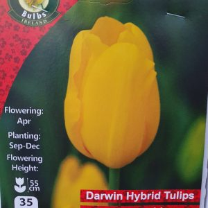 Tulips golden apeldoorn - Rockbarton