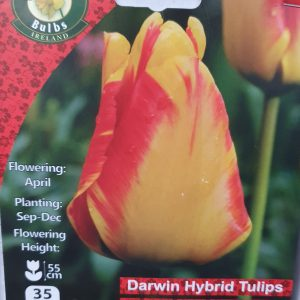 Darwin Tulips - Rockbarton