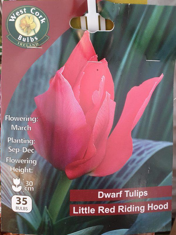 Tulip little red riding hood - Rockbarton