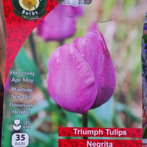 Triumph tulips negrita - Rockbarton