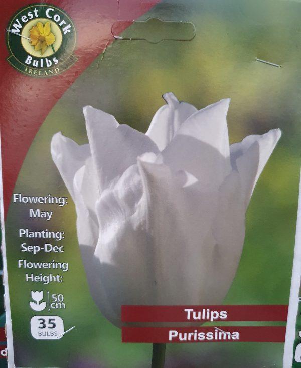 Tulip Purissima - Rockbarton