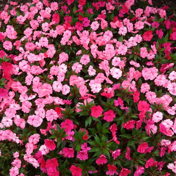 Bedding Flowers in Pink