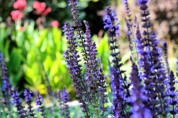 Purple Delphinium flowers in the summertime.