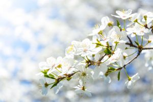 White cherry blossoms on a tree.