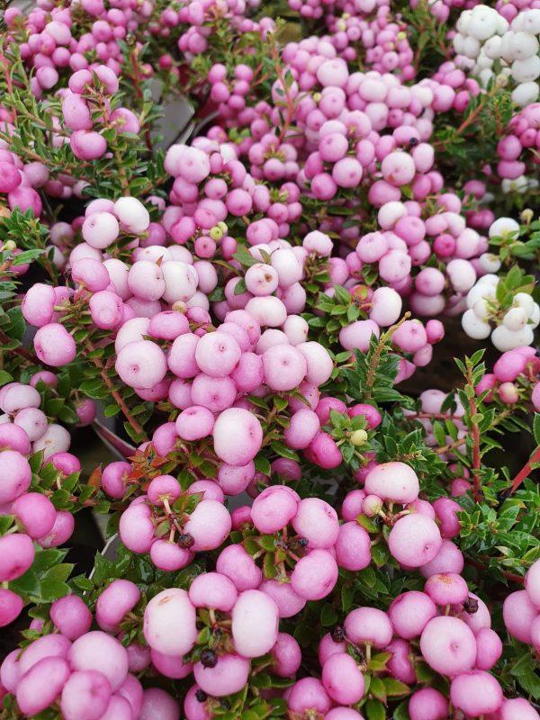 Pernettya Pink Berries