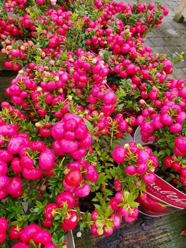 Pernettya Red Berries