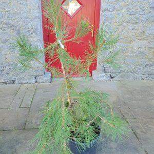 Pinus Nigra Nigra