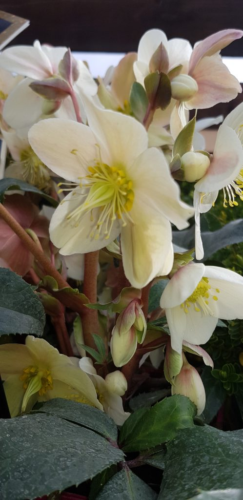Hellebores in Flower Rockbarton GC