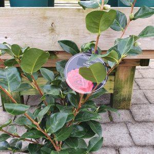 Camellia Cereixa de Tollo