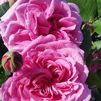 Gertrude Jekyll in Flower - Rockbarton