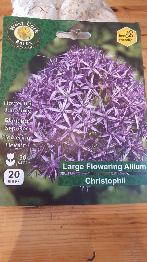 Allium Christophii Rockbarton