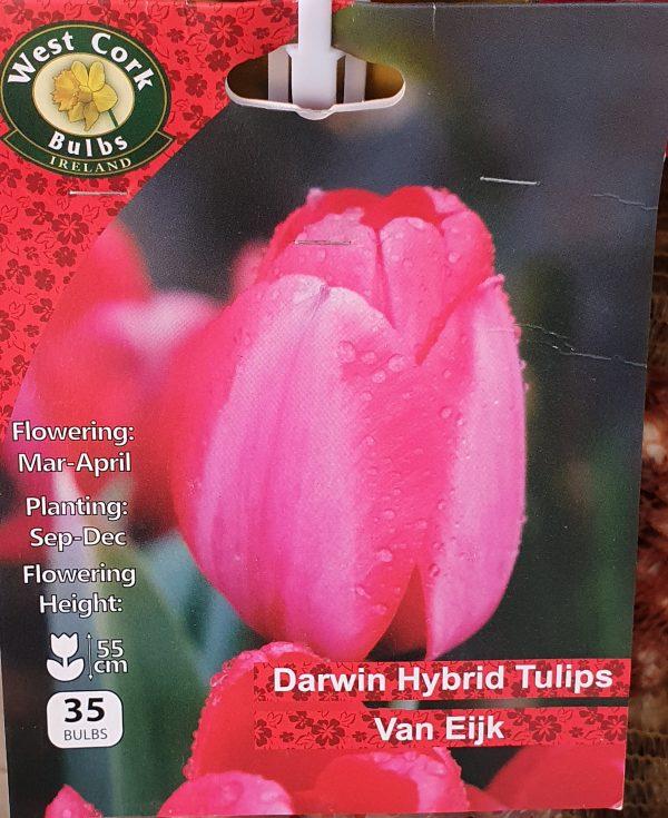 Darwin hybrid tulips van eijk